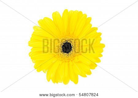 Large Yellow Gerbera Flower On White Background