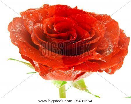 Rose in watter