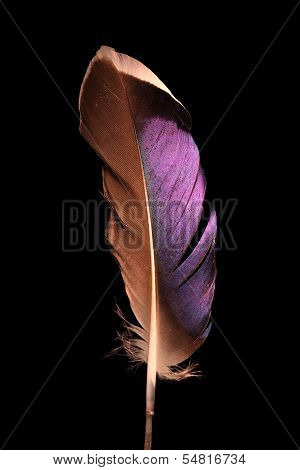 Mallard Duck Purple Wing Feather On Black