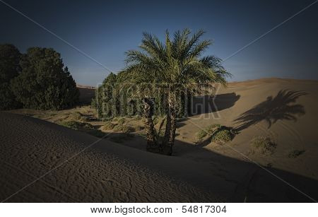 Palms Between Dunes