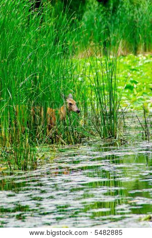 Deer By A Pond With Reflection In Water