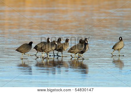Flock Of Coots Walking On Frozen Lake