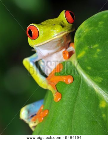 Red eyed Laubfrosch 1