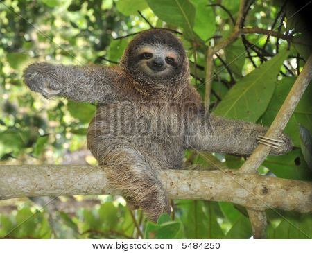 Three Toe Sloth Cahuita