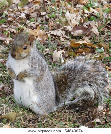 Squirrel Waiting For Nuts