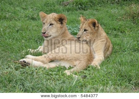 Two Lion Cubs Relaxing