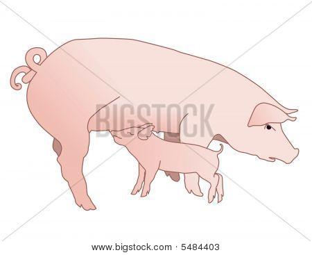 Pig Nursing Piglet