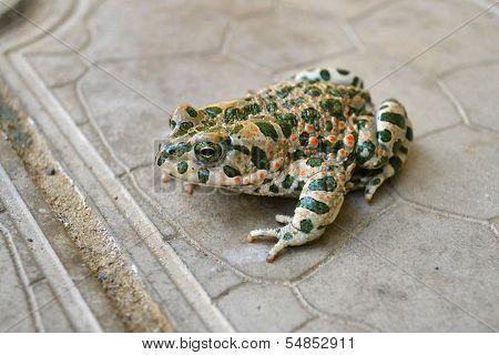 The Green Toad Living In The Anapa Area, Krasnodar Krai