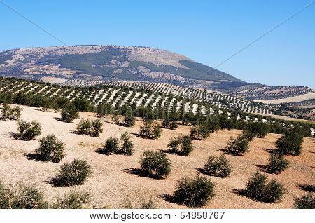 Olive groves in mountains, Montefrio, Spain.