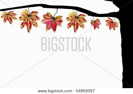 Yellowish Orange Maple Leaves.