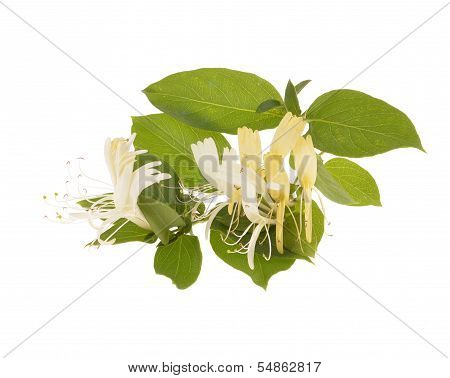 Sprig of honeysuckle