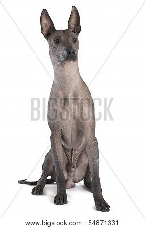 Xoloitzcuintle Male Dog