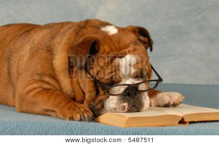 Bulldog Sleeping With Novel