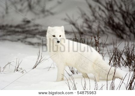 Raposa do Ártico