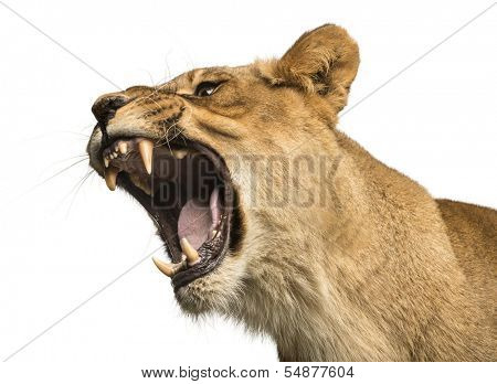 Close-up of a Lioness roaring, Panthera leo, 10 years old, isolated on white