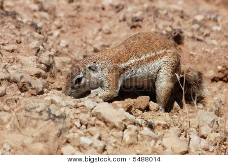 Ground Squirrel (xerus Inaurus)