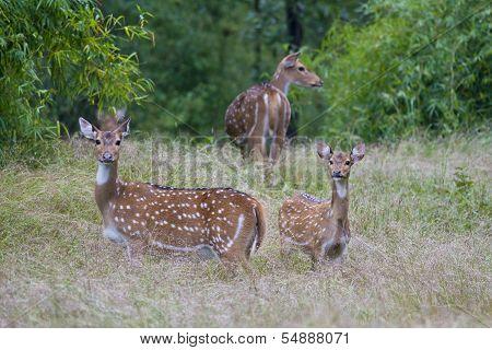 Chital  Deers