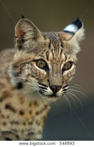 Portrait Of A Bobcat