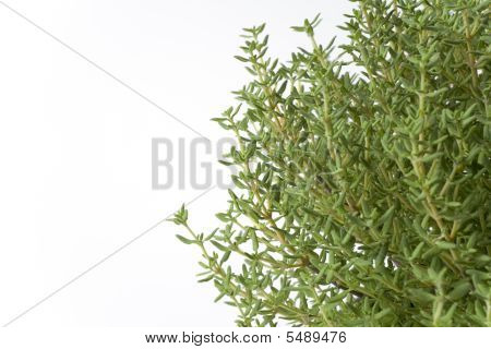 Branches Of Thymus Vulgaris On White Background