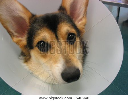 Puppy In Elizabethan Collar