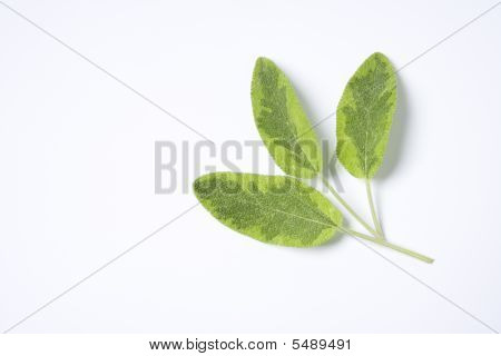 Green Salvia Officinalis Leaves On White Background