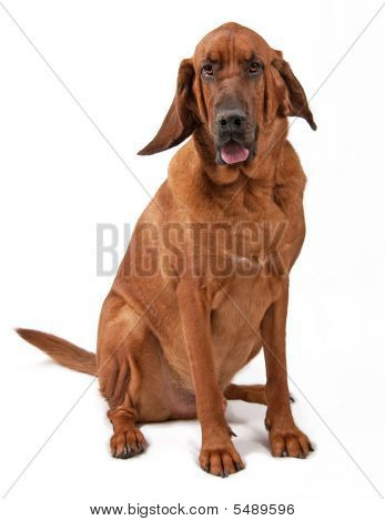 Bloodhound Sitting