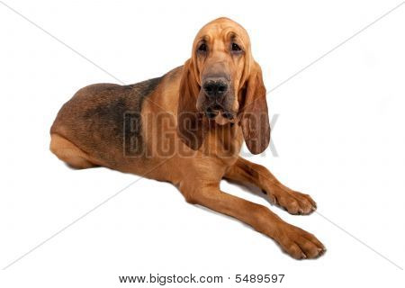 Bloodhound Laying Down