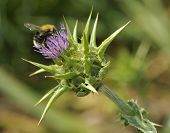 Tree Bumblebee on Milk Thistle