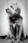 stock photo of datura  - Cute black dog  - JPG