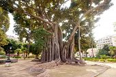 Big Ficus Tree In Palermo