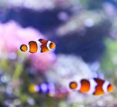 The Marine Fish - Ocellaris Clownfish