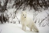 picture of arctic fox  - An arctic fox in the snow near Churchill - JPG