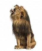 stock photo of leo  - Lion roaring - JPG