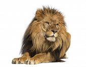 Lion lying down, looking away, Panthera Leo, 10 years old, isolated on white poster
