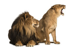 stock photo of soulmate  - Lion with lioness roaring - JPG