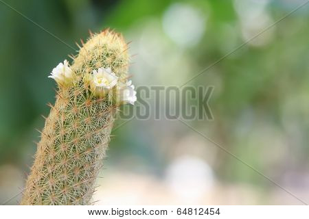 Mammillaria elongate cactus with white flower in blur background