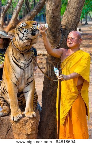 SAMUI, THAILAND - MARCH 27: Abbot Phra Acharn Phoosit Khantidharo feeds tiger by milk on March 27, 2014 in Wat Pa Luangta Bua Yannasampanno Forest Monastery, Tiger Temple, Kanchanaburi, Thailand.