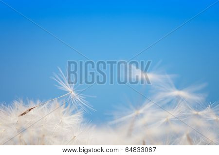 Dandelion Fluff On A Blue