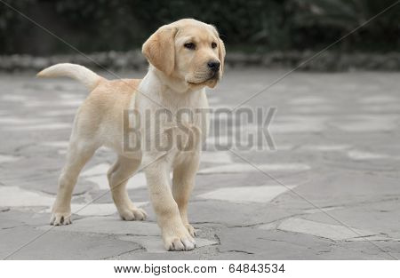 Male Labrador Puppy
