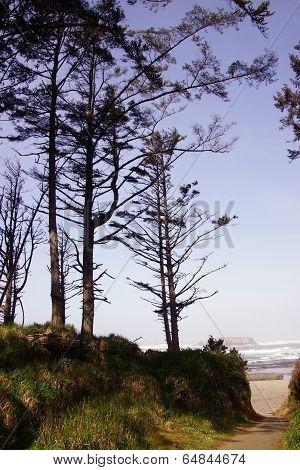 Tall Conifers Along Coastal Hills