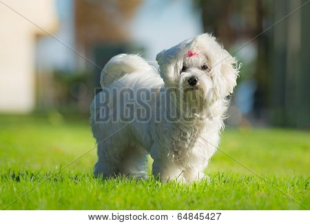 Cute Female Maltese Dog