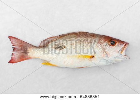 Russell's Snapper