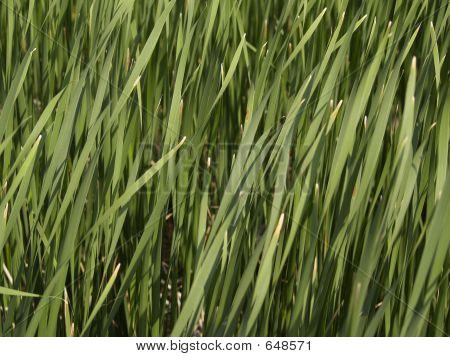 Tall Grass - Texture