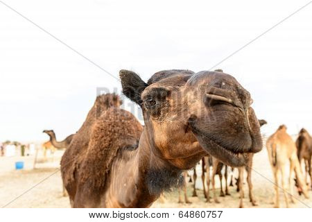 Head Of Dromedary In Oman Desert (oman)