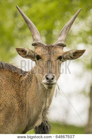Gnu Antelope