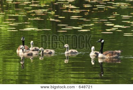Family Geese