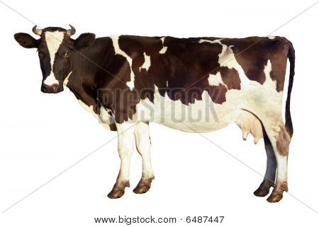 Dairy Cow Isolated