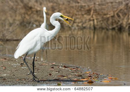 A Great White Egret (egretta Alba) Tossing Up A Fish To Get It Into Position For Swallowing