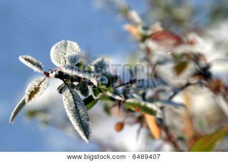 Frost auf Berberitze Zweig