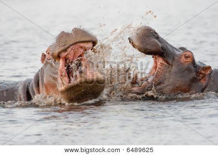 Grupo de hipopótamos selvagens em um poço.
